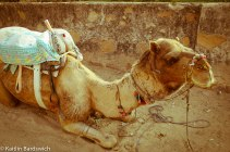 """""""Duuuuuude...I'm a camel in Pushkar. Alcohol and meat are banned, but reefers are plenty."""""""