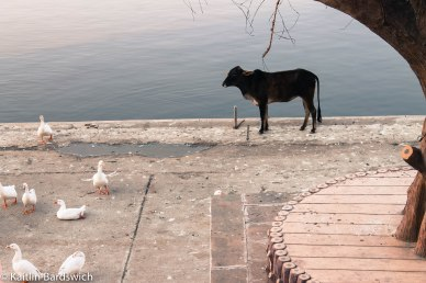 This cow was afraid of walking past these geese.