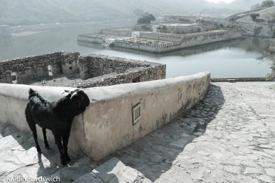 I love this photo of a goat scratching himself on the wall of Amber Fort, Jaipur